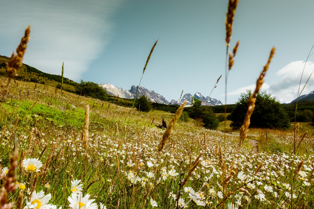 white flower field under blue sky during daytime