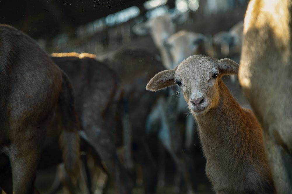 brown sheep in tilt shift lens