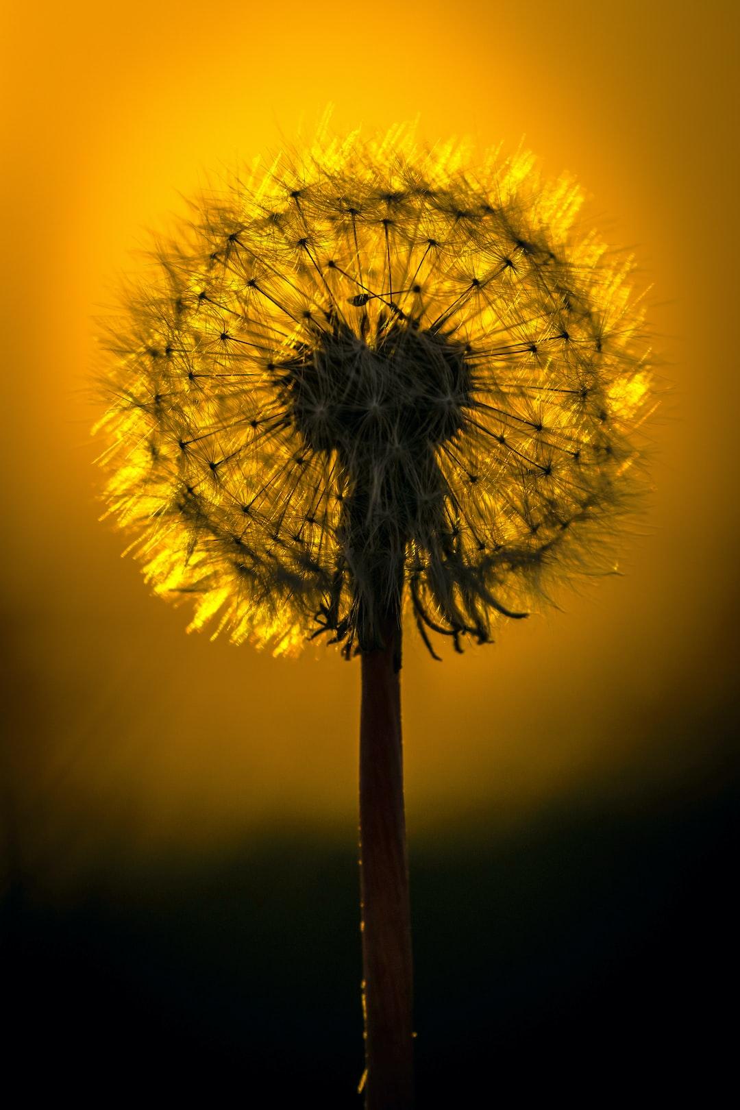 Dandelion seed head backlit by the Sun at golden hour in Edinburgh, Scotland.