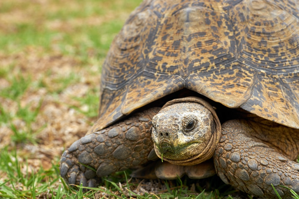 brown and black turtle on green grass during daytime