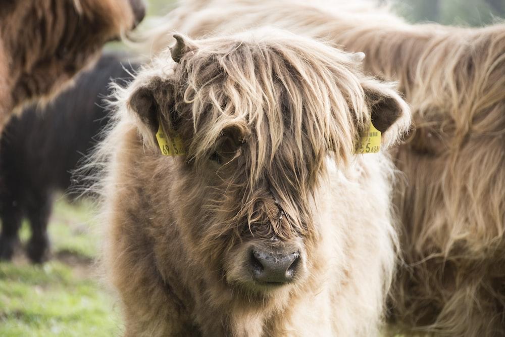 brown yak on green grass field during daytime