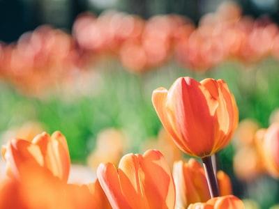 I meravigliosi scatti nel parco di tulipani più bello al mondo, chiuso a causa dell'emergenza Covid-19