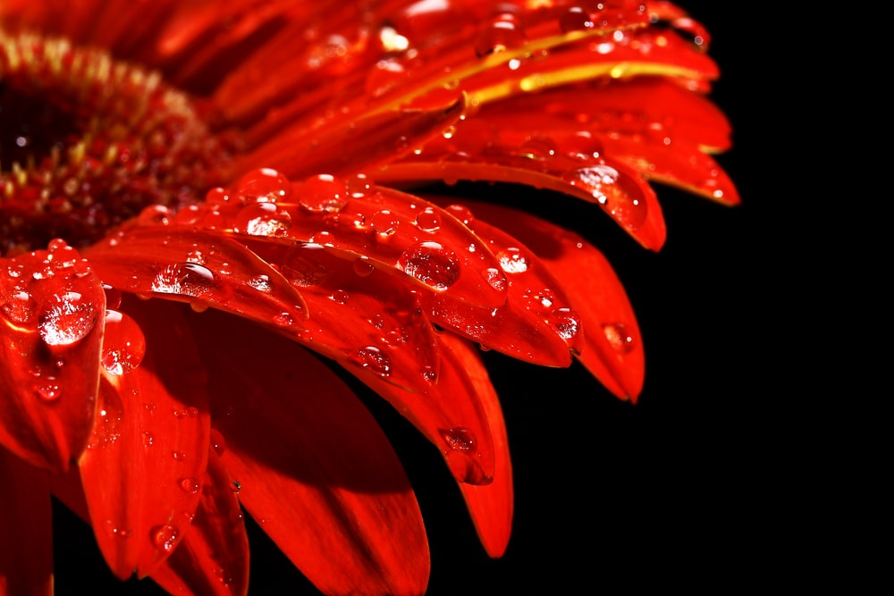 red and yellow flower in close up photography