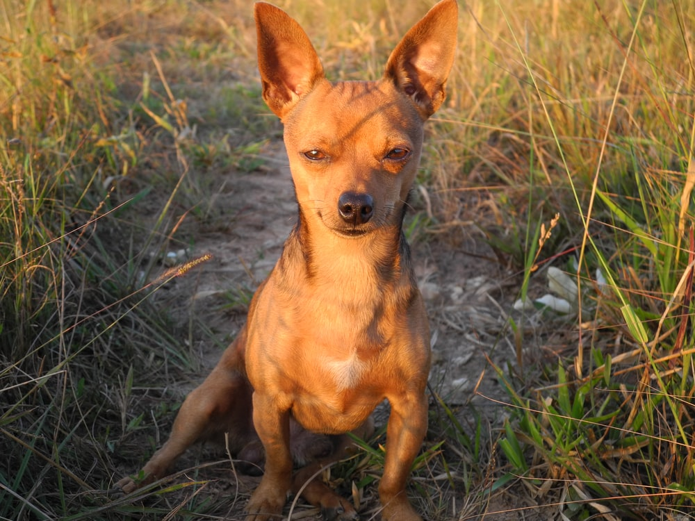 brown chihuahua on green grass field during daytime