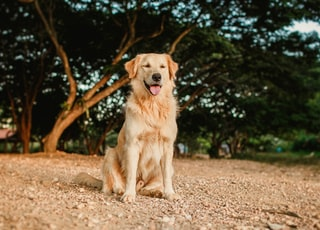 golden retriever lying on ground during daytime