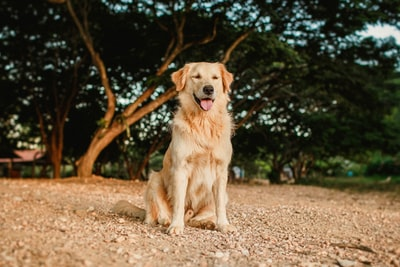 golden retriever lying on ground during daytime canine teams background