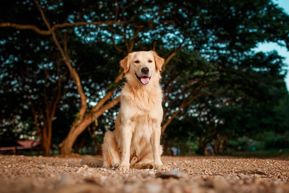 golden retriever sitting on ground during daytime