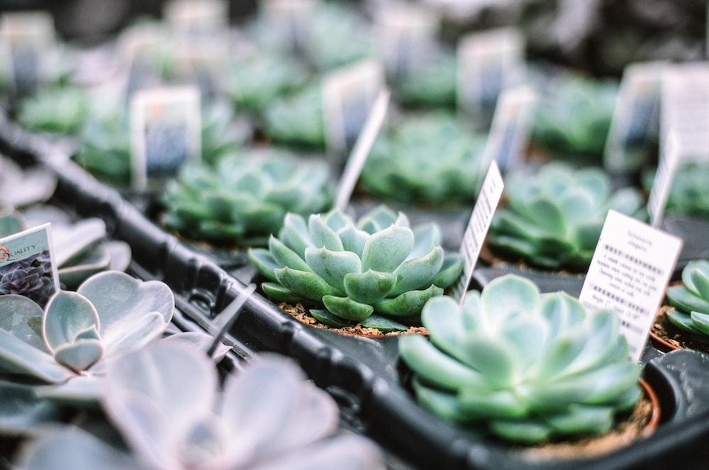 green succulent plants in black plastic pots