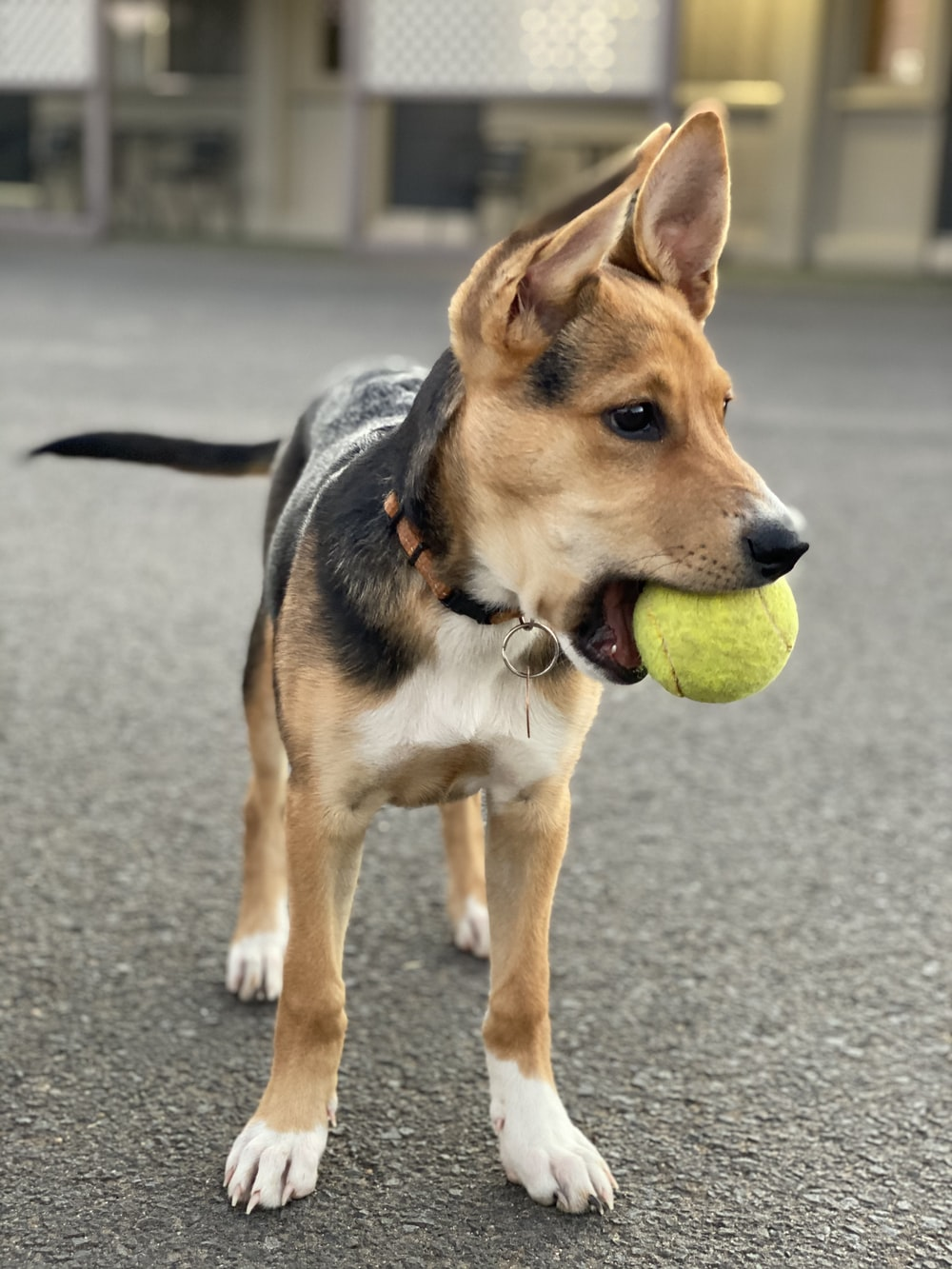 brown and black short coated dog biting tennis ball