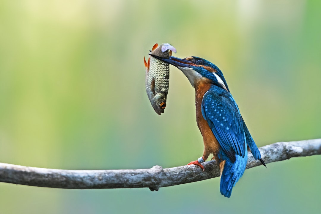 king fisher with prey