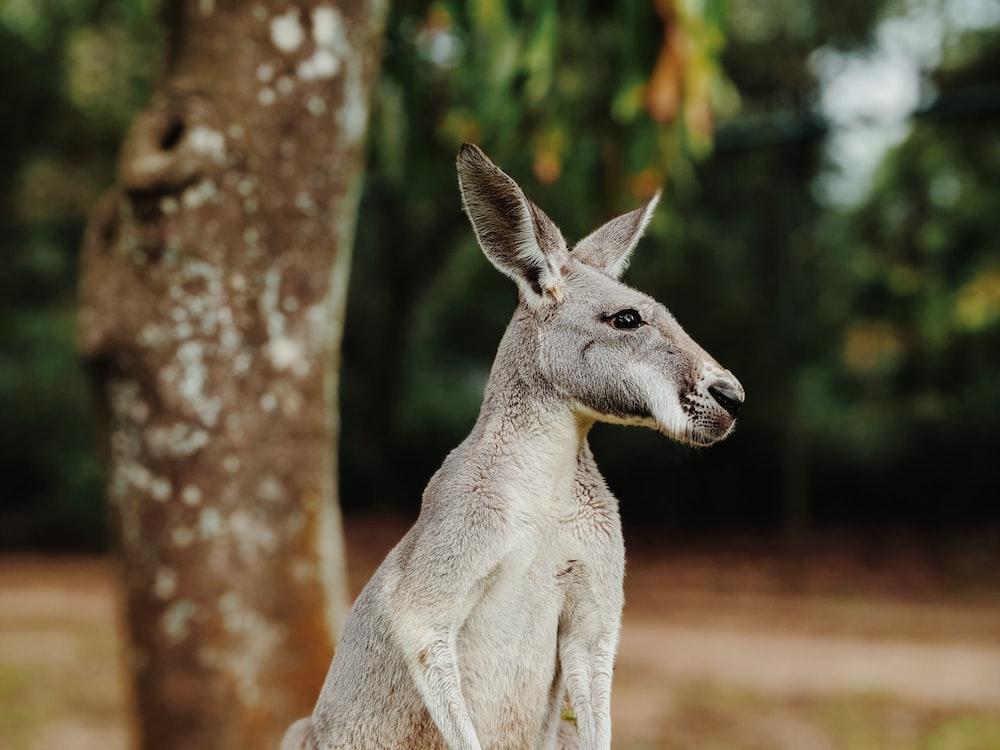 brown kangaroo in tilt shift lens