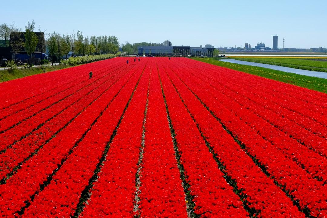 Tulip fields Lisse, The Netherlands