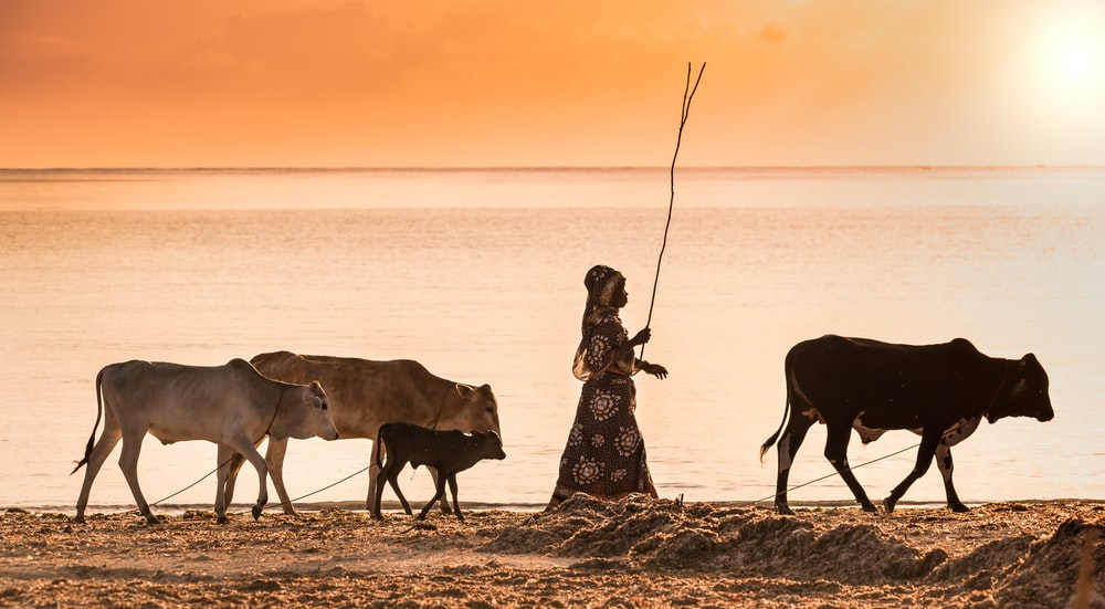 woman in black and white floral dress standing beside cow on seashore during sunset