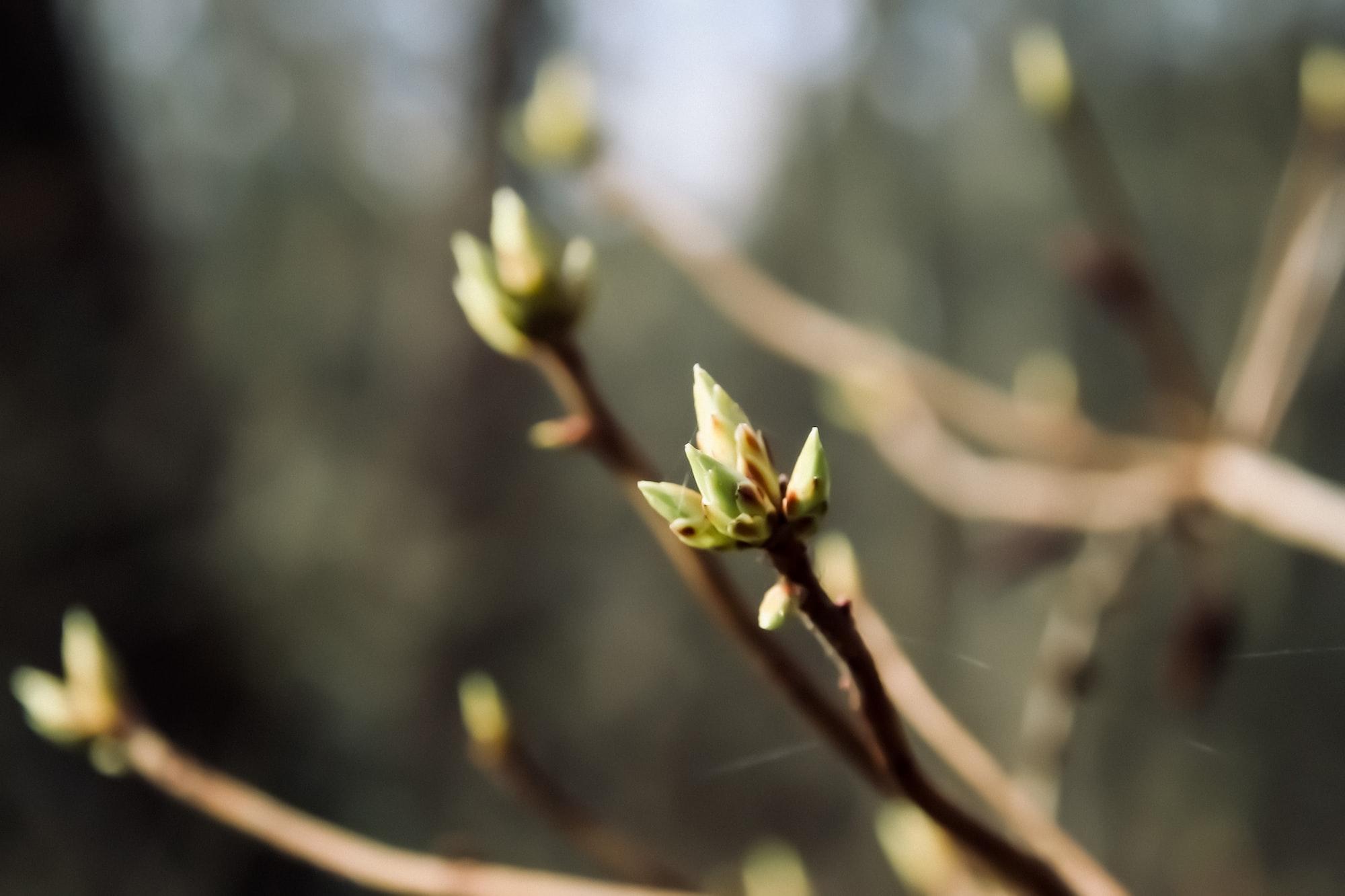 Processen som skapar blad (och blommor)