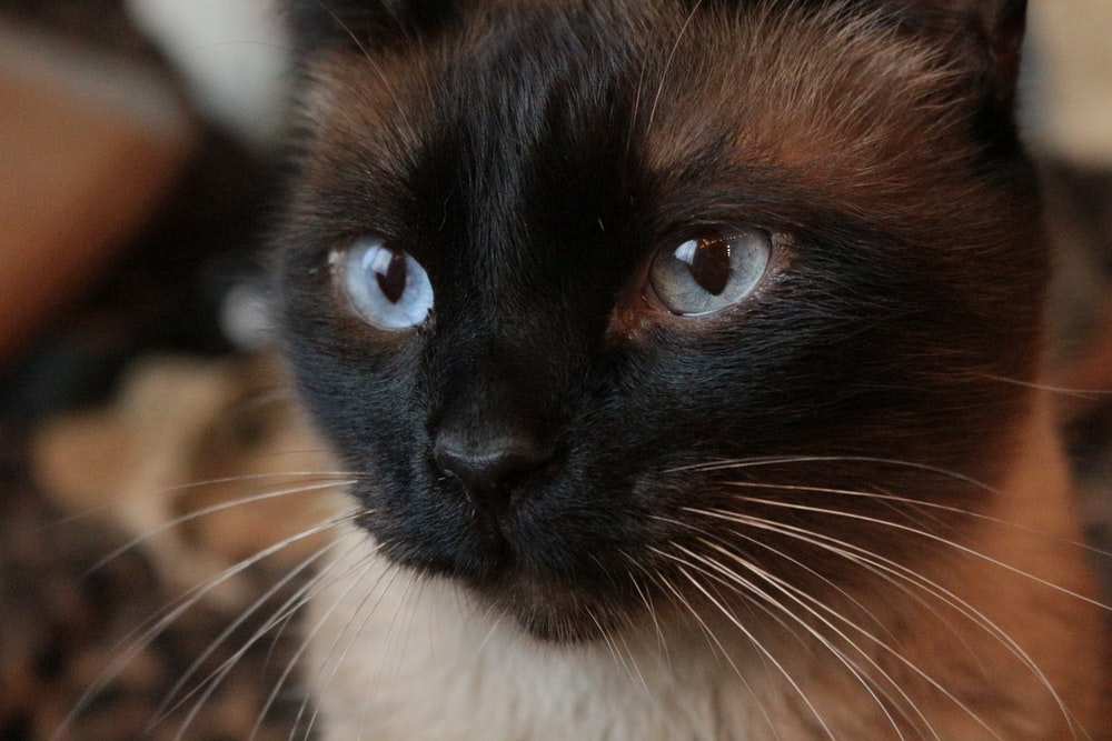 brown and black cat with blue eyes