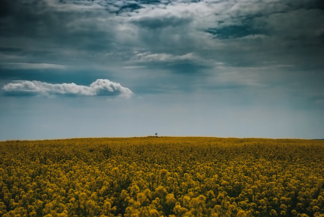 Parched field field of rapeseed flowers