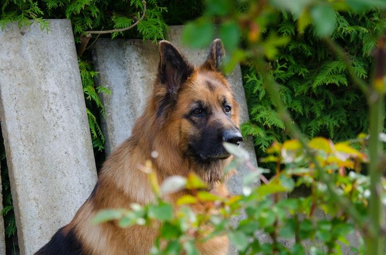 german shepherd coat physical attributes