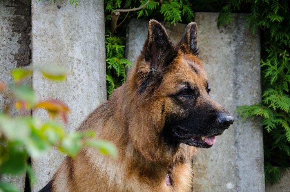 500 German Shepherd Dog Pictures Hd Download Free Images On Unsplash