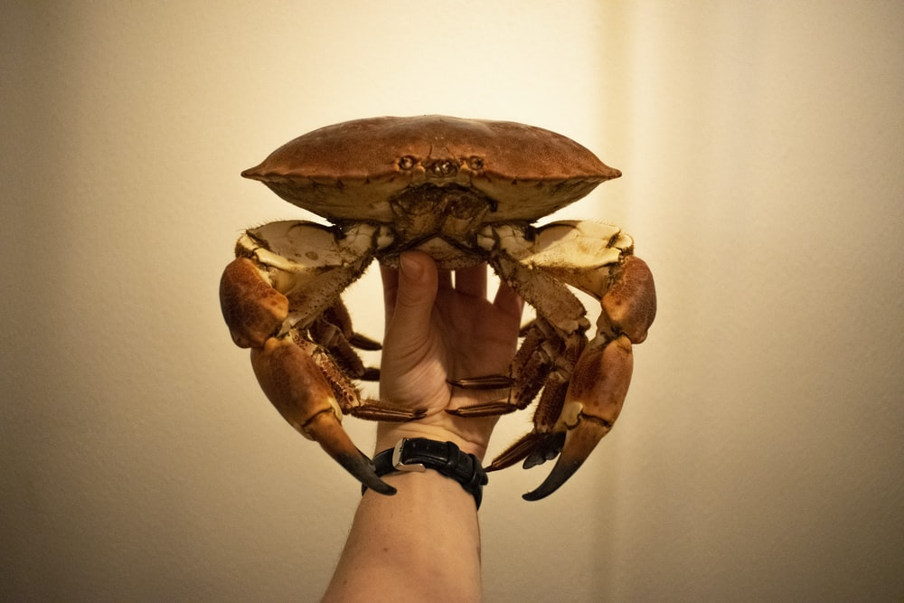 person holding brown crab on white background
