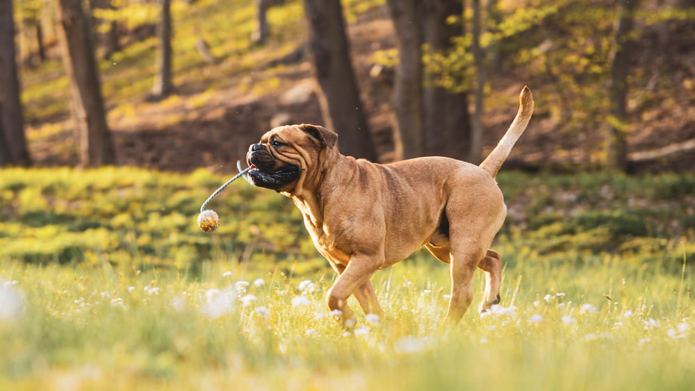 brown short coated dog playing on green grass field during daytime