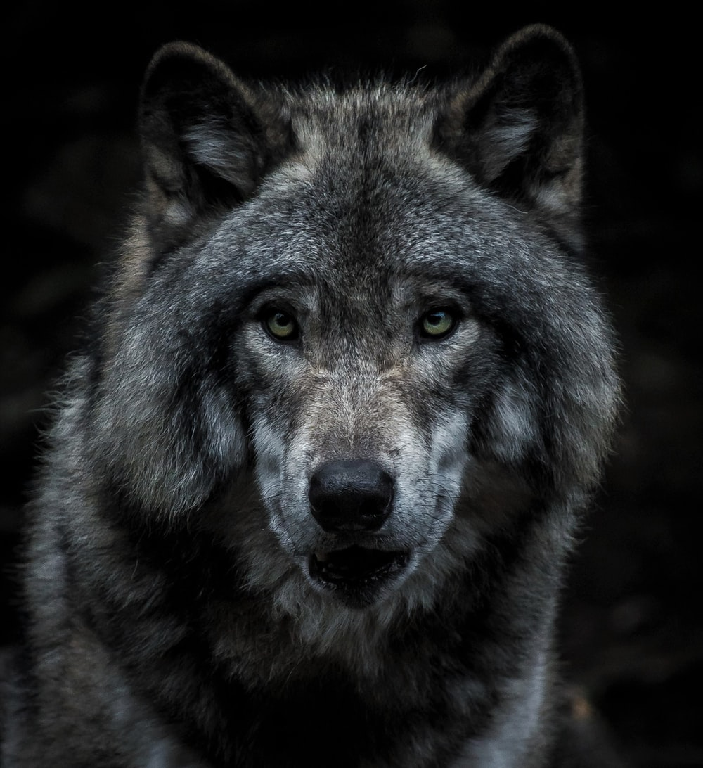 black and brown wolf painting