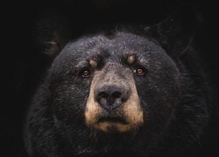 black bear on brown wooden tree branch