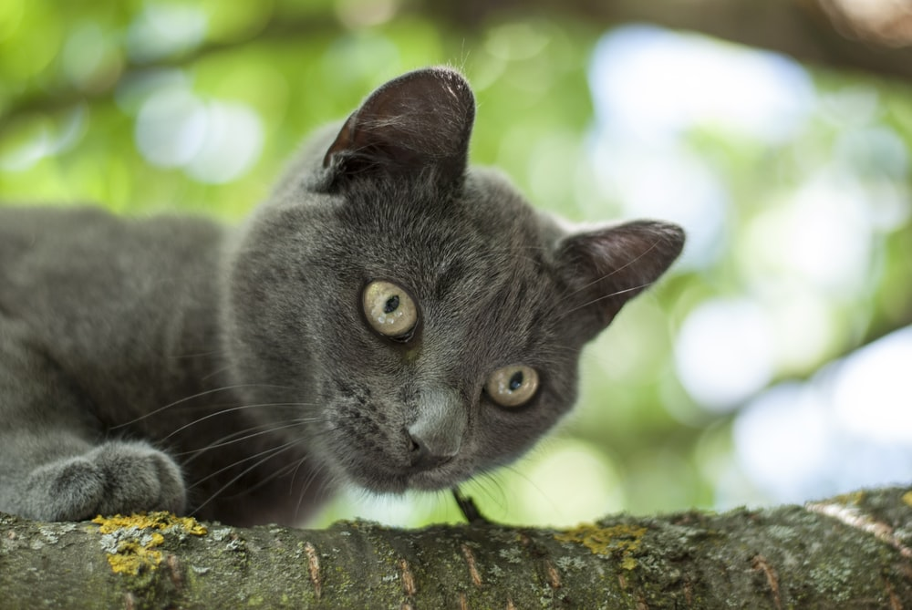 russian blue cat on brown tree trunk