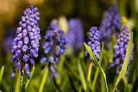 I feel... hyacinths stories