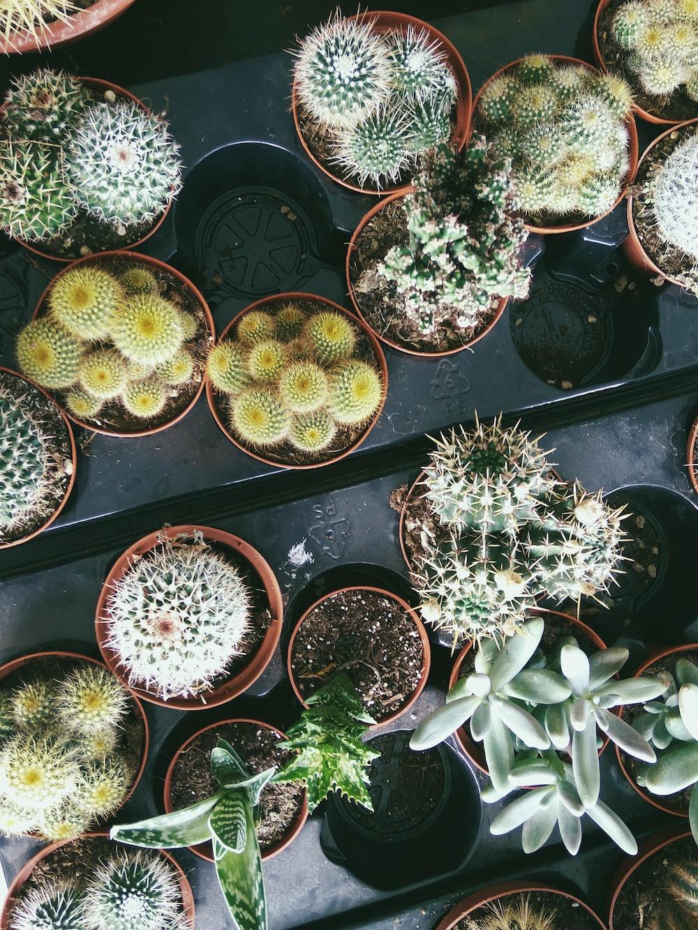 green cactus plants on black plastic pots