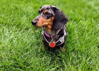 black and brown short coated dog on green grass during daytime