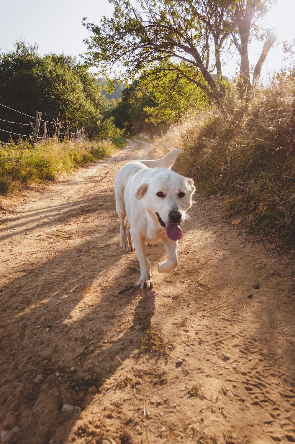 white short coated dog walking on brown dirt road during daytime