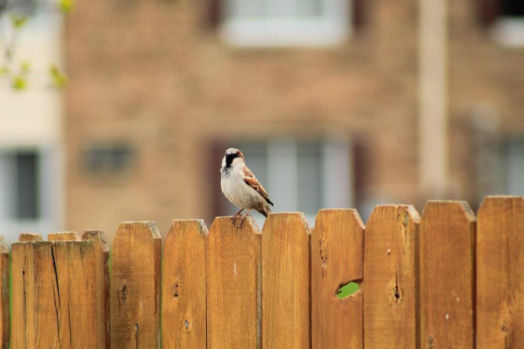 A house sparrow perches on a fence.