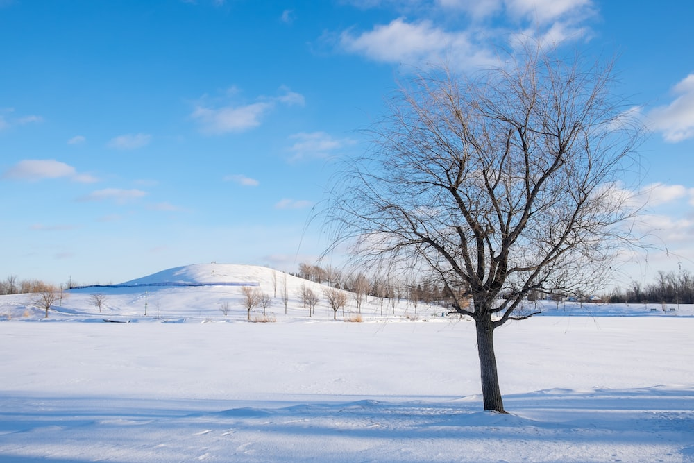 leafless tree on snow covered ground under blue sky during daytime