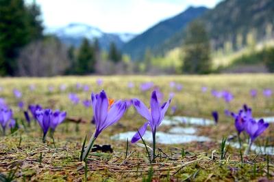 purple crocus flowers in bloom during daytime