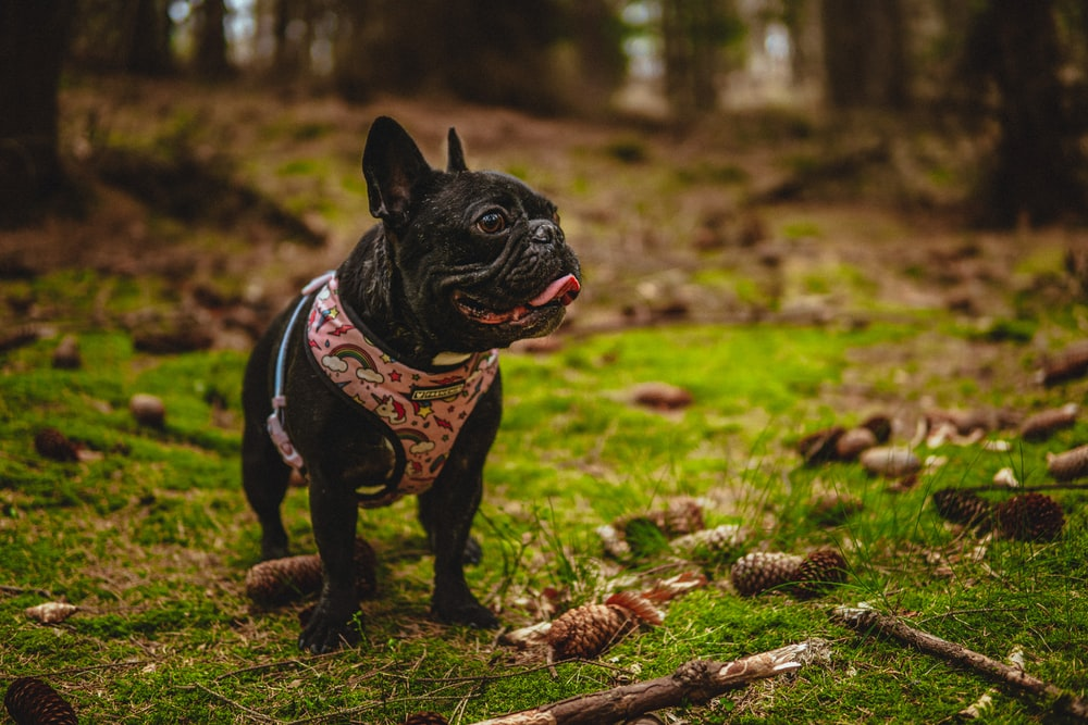What to know about French Bulldogs | Argos Pet Insurance