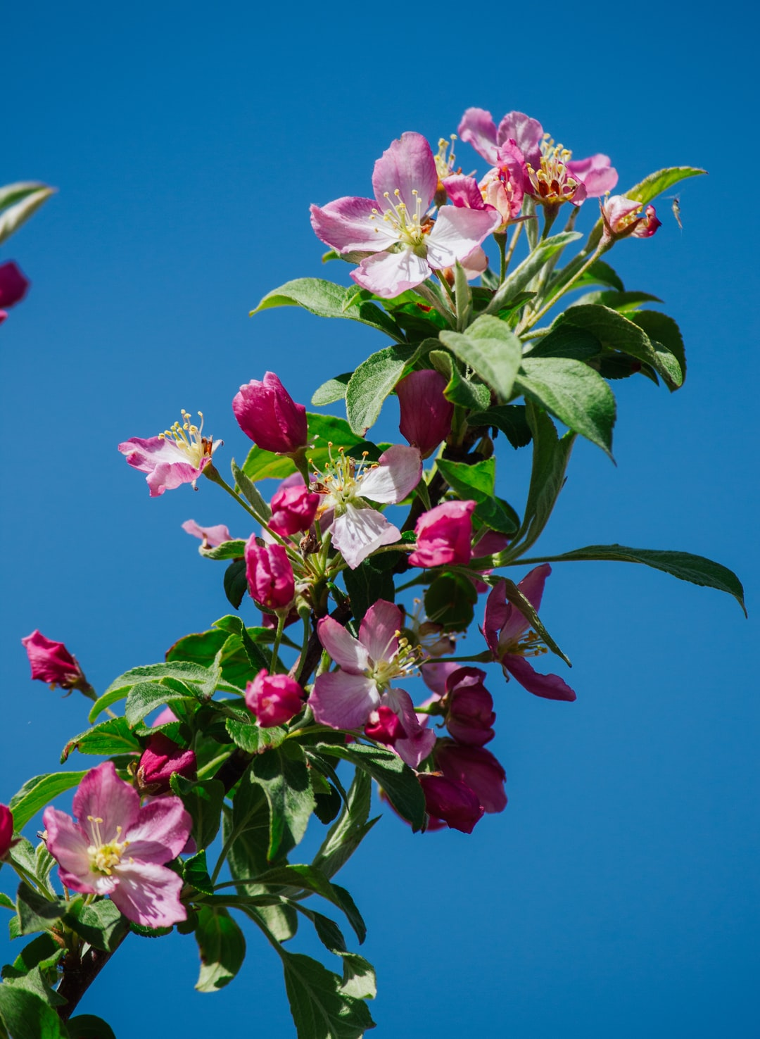 Pink crabapple blossoms against a blue sky in the springtime