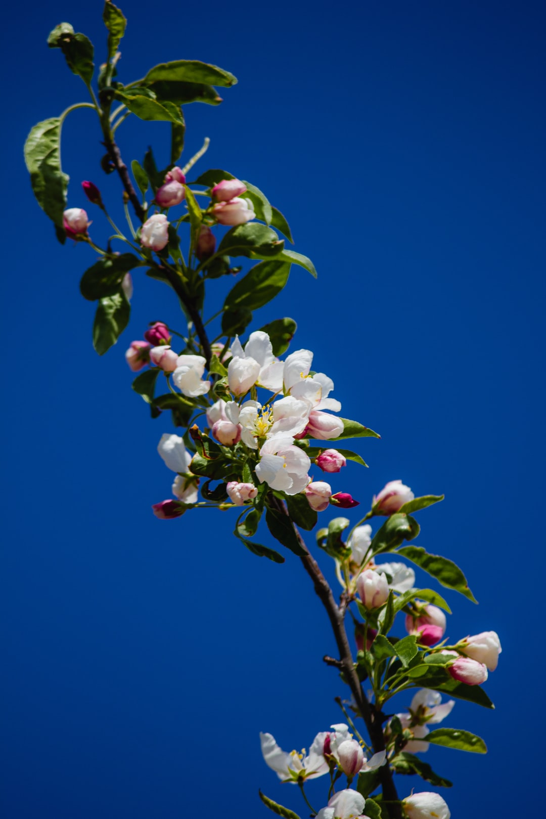 White and pink crabapple blossoms against a blue sky in the springtime
