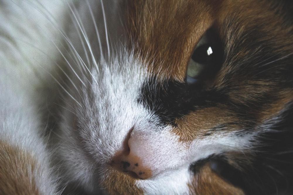 orange white and black cat