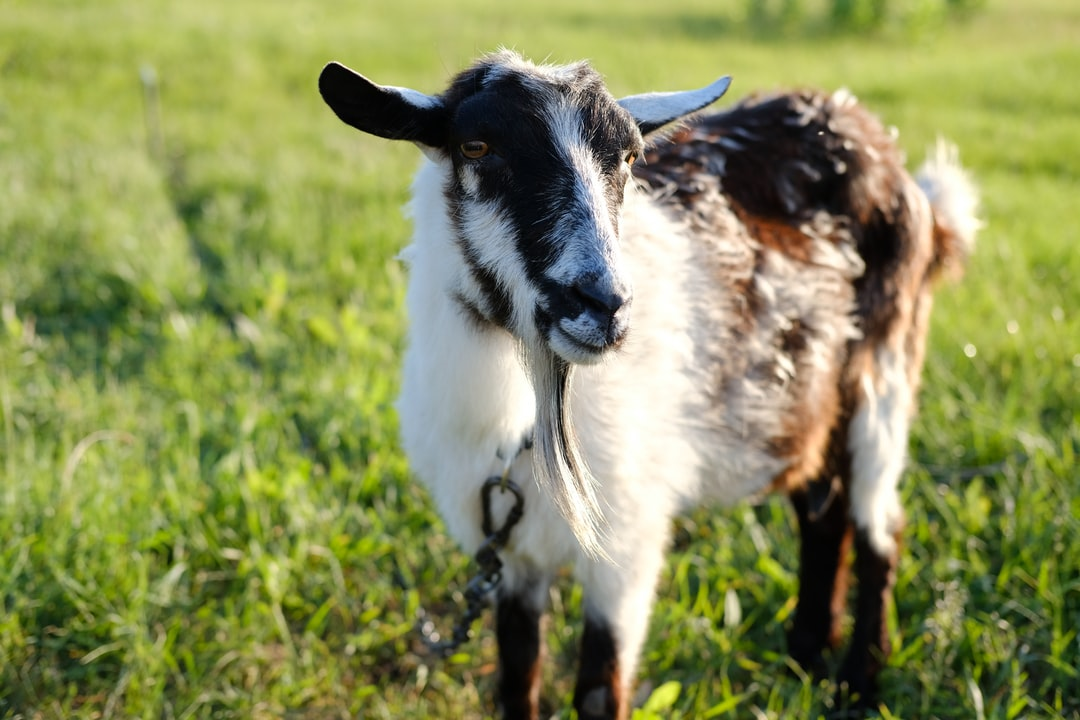 Black-white goat on a green meadow
