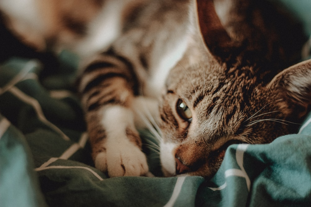Brown Tabby Cat Lying On Green White And Black Textile Photo Free Image On Unsplash