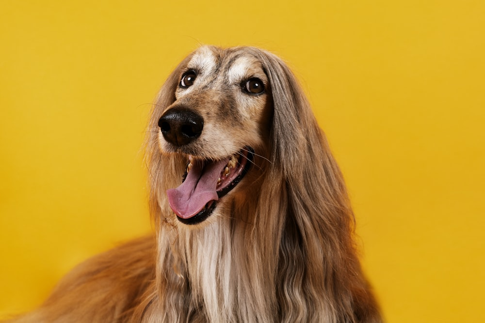 brown long haired dog with mouth open