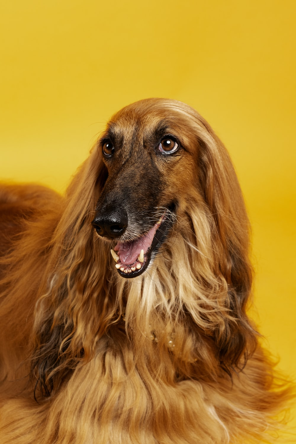 brown long haired dog with black eyes