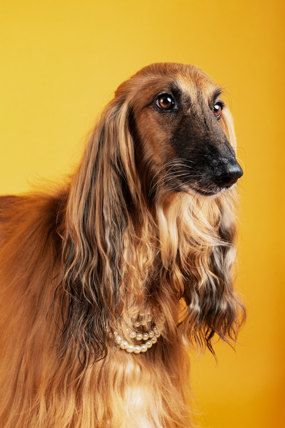 brown and black long haired dog