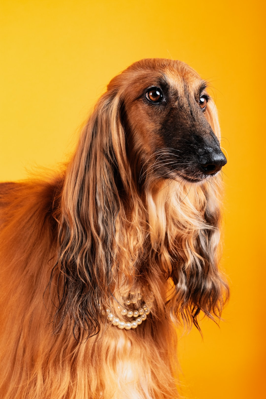 Dog Afgano