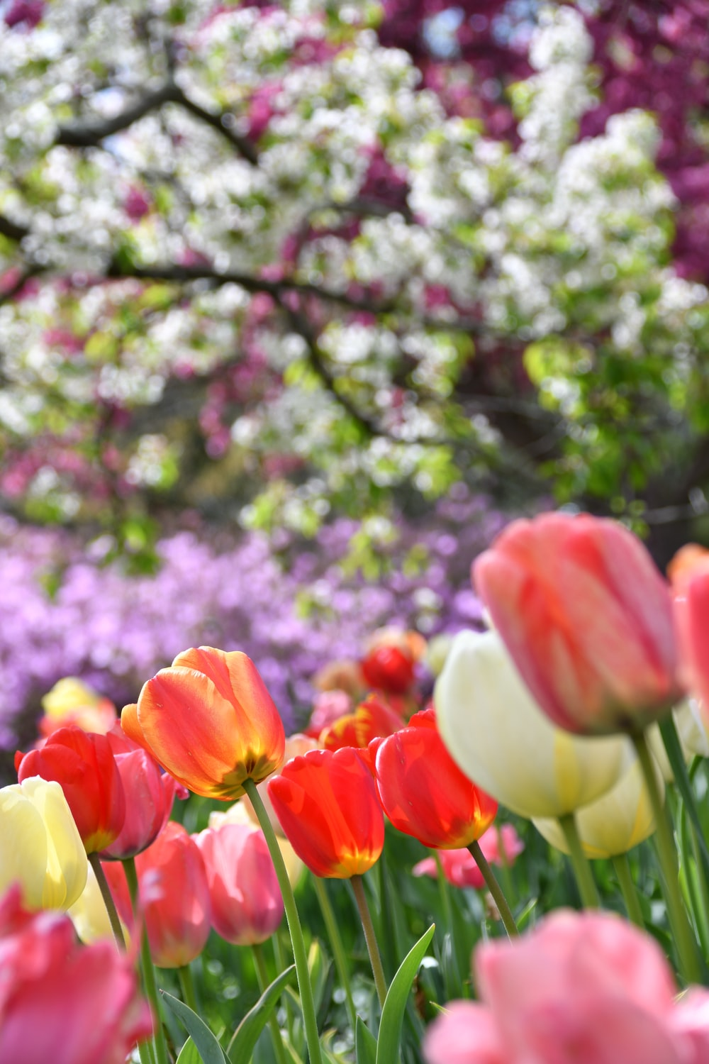 red and yellow tulips in bloom during daytime