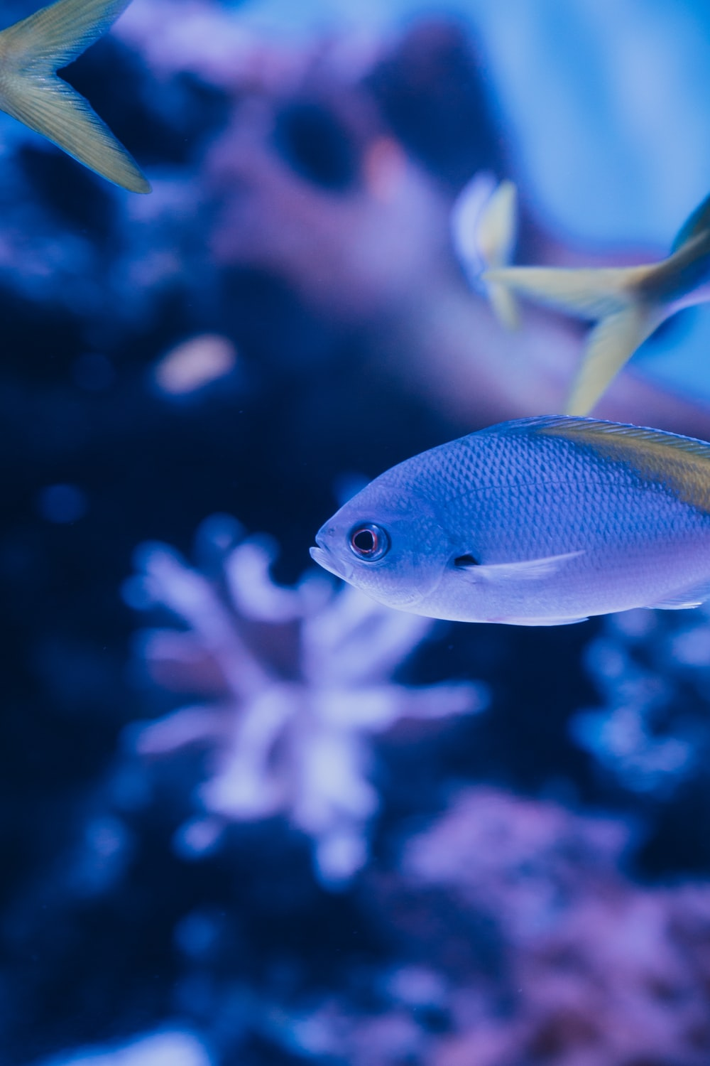 blue and yellow fish in water