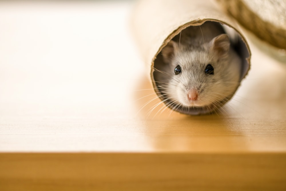 white and brown hamster in white textile