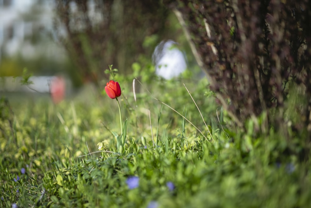 red flower on green grass field during daytime