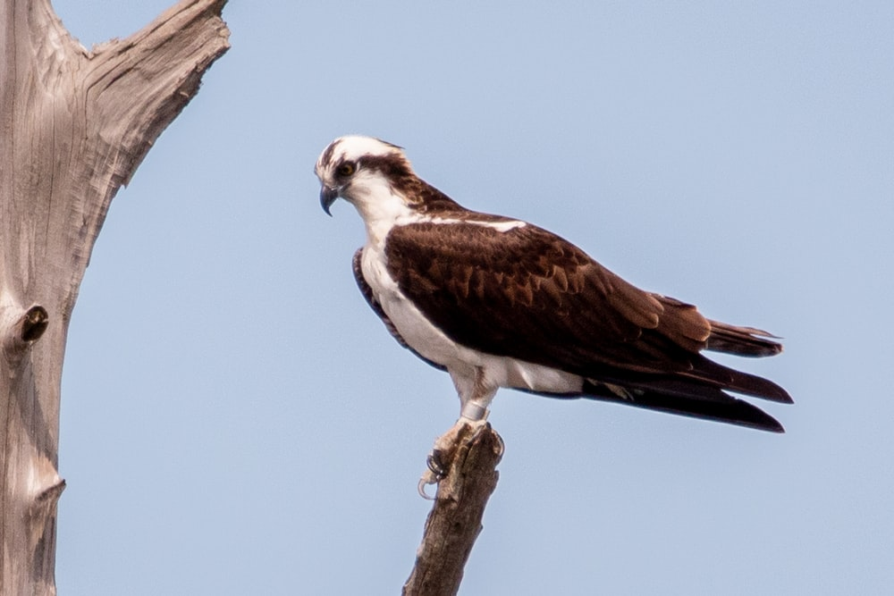 brown and white eagle on brown tree branch