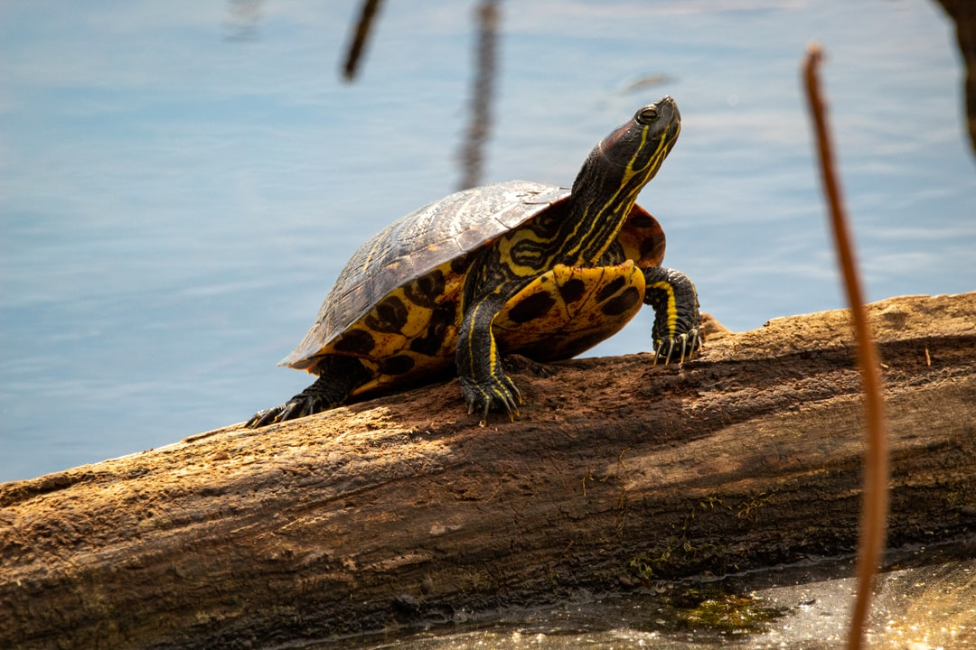 Turtle on a log in Oneal Lake at the Hatchie National Wildlife Refuge.